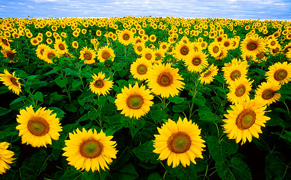 easy-sunflower-painting-wallpaper-3